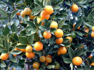 plantas-frutiferas-laranja