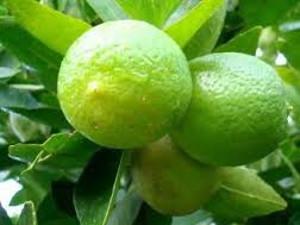 plantas-frutiferas-limao