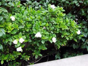 plantas-ornamentais-gardenia