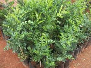 plantas-ornamentais-murta
